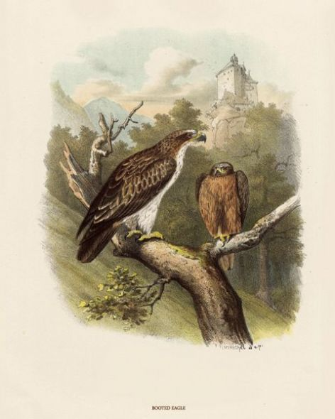 Fine Art Print of the Booted Eagle by O V Riesenthal (1876)